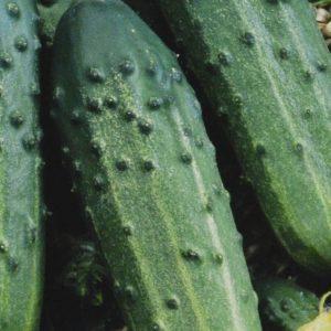 concombre sumter bio