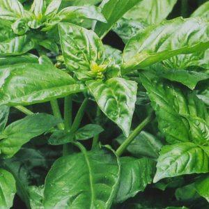 Basilic cannelle bio