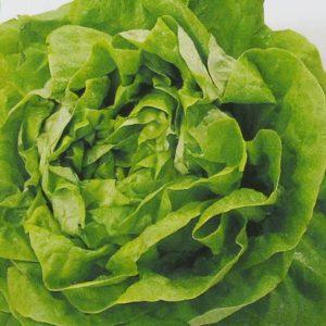 Laitue buttercrunch bio