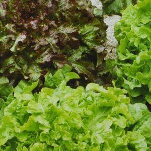 Laitue Salad Bowl bio