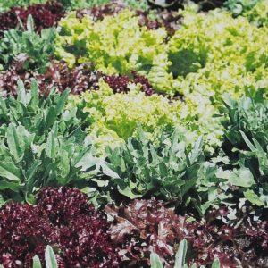 Mesclun gourmet Greens bio